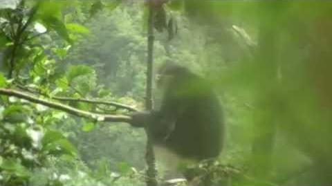 Yunnan Snub Nosed Monkey