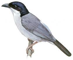 14 02 013 Dryoscopus angolensis m