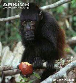 Juvenile-male-black-headed-uakari-eating-fruit
