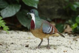 3-mindanaoc2a0bleeding-heart-pigeon