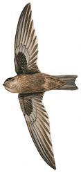 05 39 032 Aerodramus pelewensis