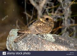 Buff-collared-nightjar-antrostomus-ridgwayi-santa-rita-mountains-arizona-DA0PY0