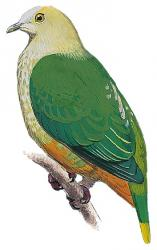 04 21 238 ptilinopus richardsii