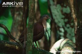 Shy-ground-dove-in-forest-habitat