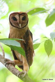 Minahasa masked owl tangkoko feb bocos2