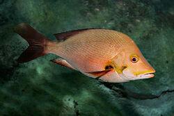 800px-Paddletail melb aquarium
