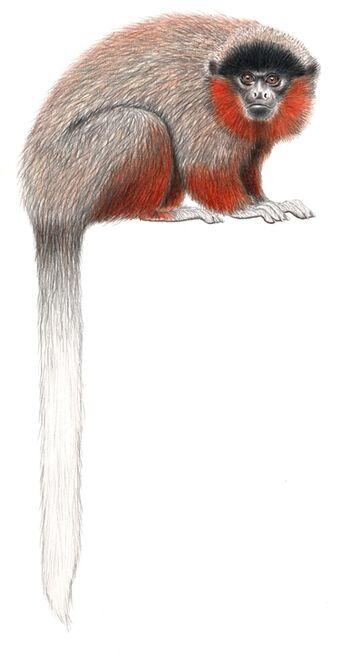 Callicebus stephennashi