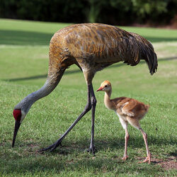 Grus canadensis -adult and chick-8