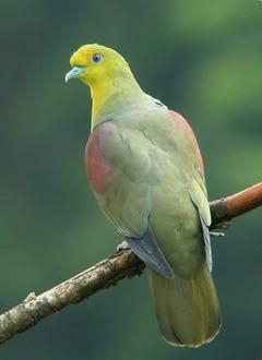 White-bellied Green-Pigeon Bird