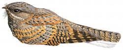 05 33 070 Caprimulgus inornatus grey bird m