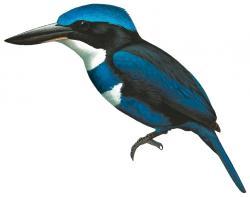 06 14 038 Todiramphus nigrocyaneus nigrocyaneus m