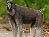 Booted Macaque