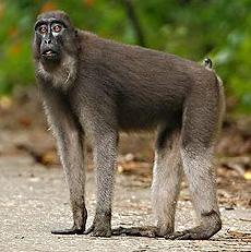 Macaca ochreata