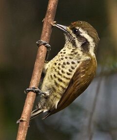 Speckled piculet copy1
