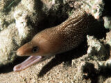 Red Sea White-spotted Moray