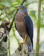 AU-VGO-01 Variable Goshawk ( Accipiter hiogaster ) Christmas Island-M