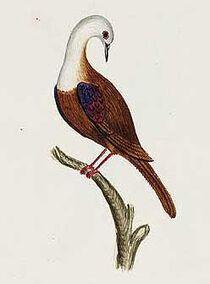 Gallicolumba norfolciensis