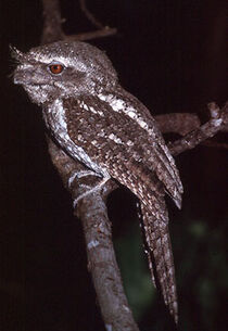 Marbled-Frogmouth