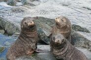 Three South American Fur Seal Pups Playing In The Rock Pools