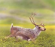 Queen Charlotte Islands Caribou art illustration