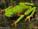 Phasmahyla guttata