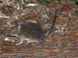 Tokunoshima Spiny Rat