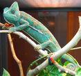 Veiled chameleon, Female