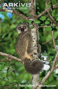 Western-woolly-lemur-in-tree