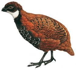 02 41 025 Odontophorus leucolaemus