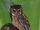 Mentawai Scops Owl