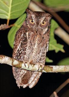Moluccan scops owl rob h-1