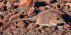 Image 2027e-Macroscelides-micus