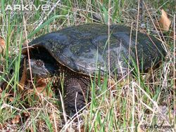 Central-American-snapping-turtle-on-grass