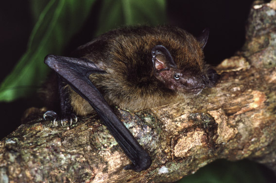 Christmas Island Pipistrelle | Animal Database | Fandom