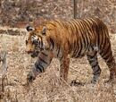 Taiwanese Bengal Tiger