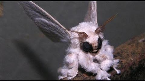 Poodle Moth