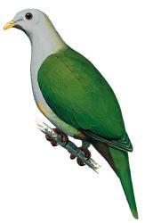 04 20 222 ptilinopus subgularis subgularis