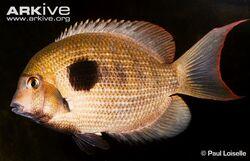 Damba-mipentina-male