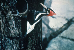 800px-Ivory-billed Woodpecker by Jerry A. Payne