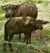 Carabao Mother-calf