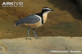 Egyptian-plover-portrait