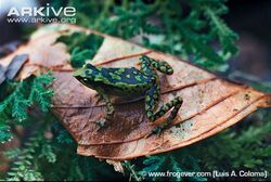 Napo-stubfoot-toad-on-a-leaf