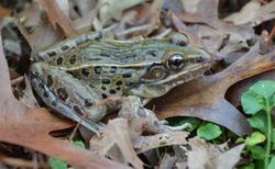 Rana kauffeldi-leopard-frog-NYC