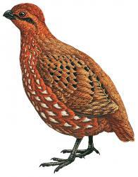 02 41 026 Odontophorus balliviani