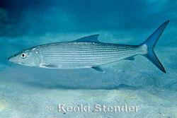 Albula-glossodonta