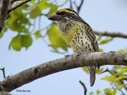 Miombo-Pied-Barbet-13