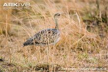 Female-black-bellied-bustard-amongst-tall-grass
