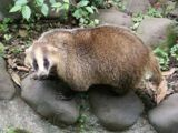 Japanese Badger