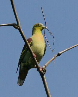 012 ashyheaded green pigeon male 03
