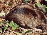 Luzon Striped Rat